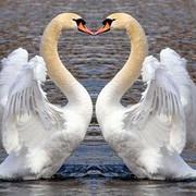 https://thumb.ibb.co/cgRzjf/beautiful-swans-16.jpg