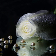 [Image: Best_White_Rose_Wallpapers_2.jpg]
