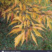 fagus_sylvatica_asplenifolia