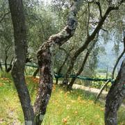 Ricca fioritura di Papaveri negli oliveti