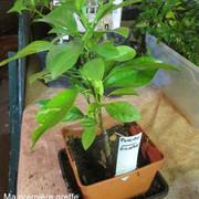 Semis de pépins d'oranges amères IMG_5945