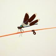 ZV-libelleblue